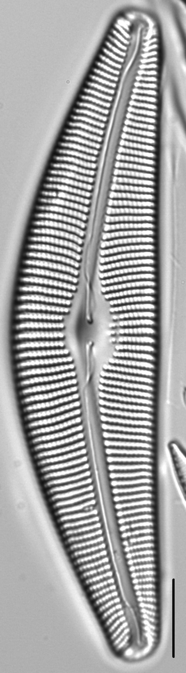 Cymbella perfossilis LM4