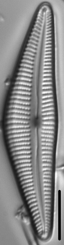 Cymbella stigmaphora LM4
