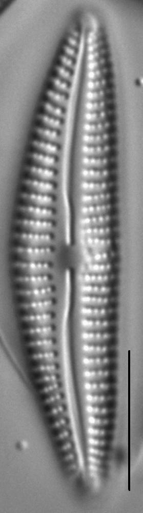 Cymbella Subleptoceros1