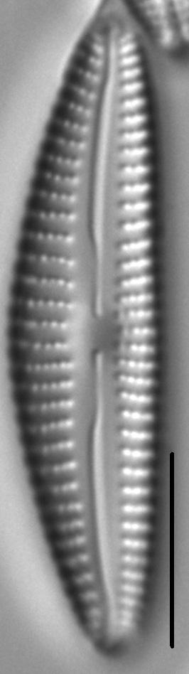 Cymbella Subleptoceros2