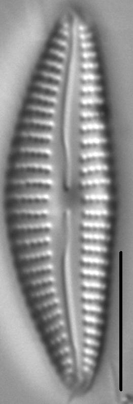 Cymbella Subleptoceros5