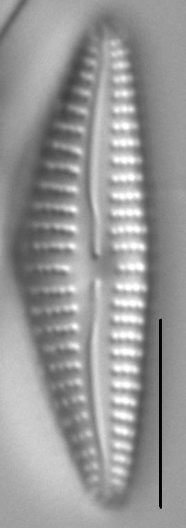 Cymbella Subleptoceros6