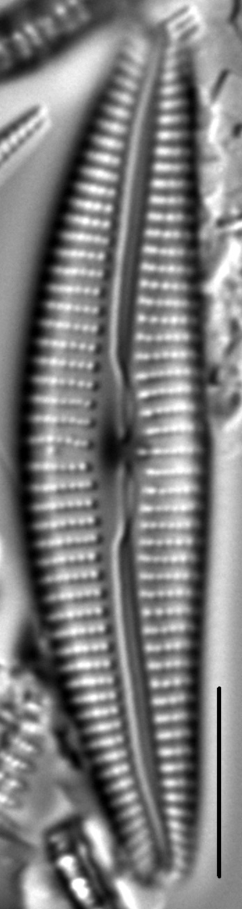 Cymbella Vulgata3