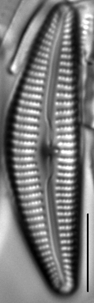 Cymbella Vulgata5