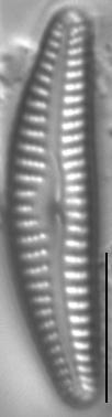 Cymbella cosleyi LM2