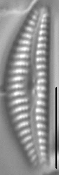 Cymbella cosleyi LM6