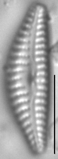 Cymbella cosleyi LM7