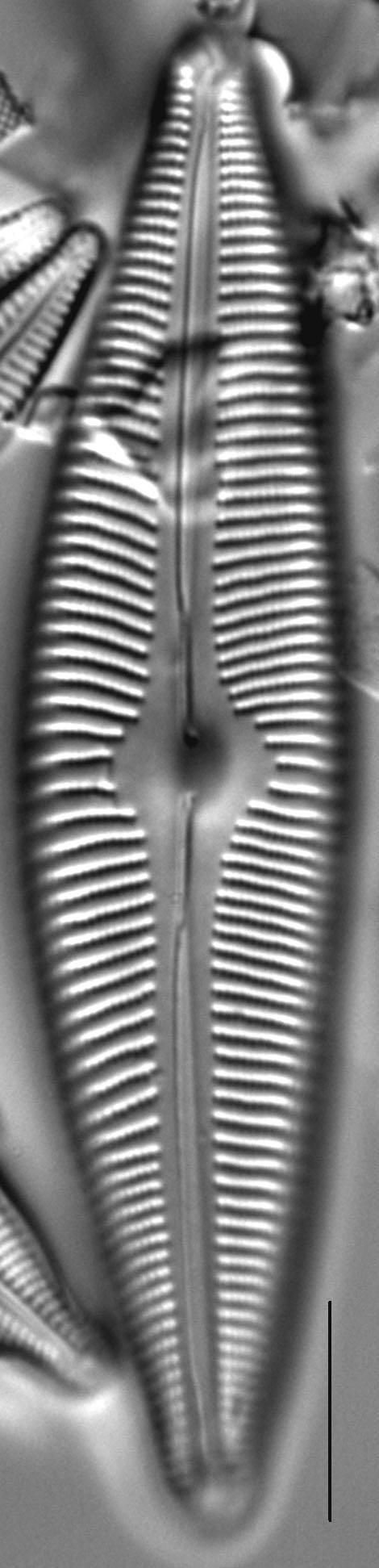 Cymbopleura rainierensis LM1