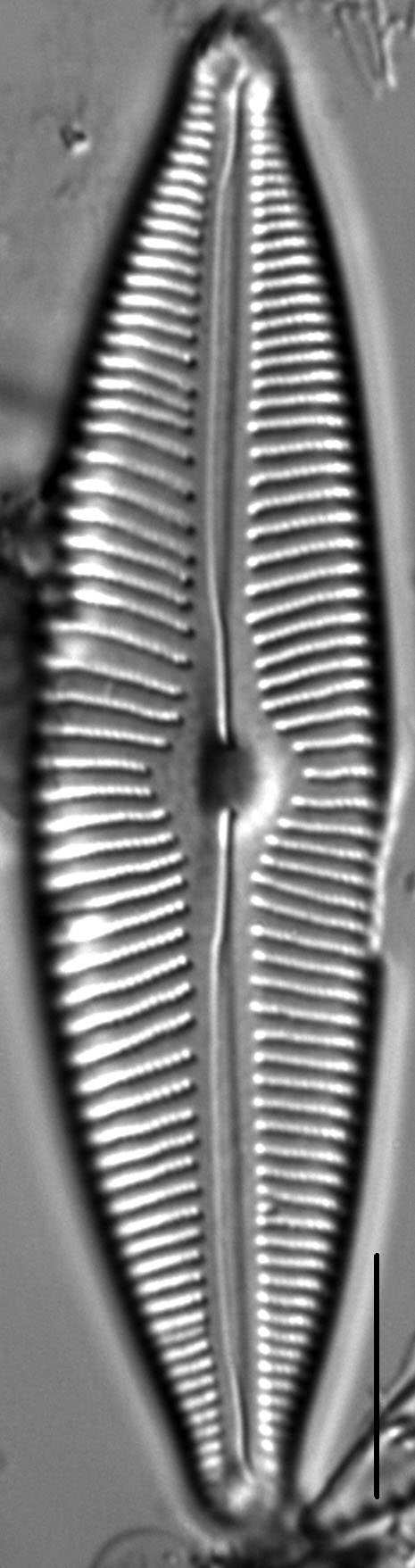 Cymbopleura rainierensis LM2
