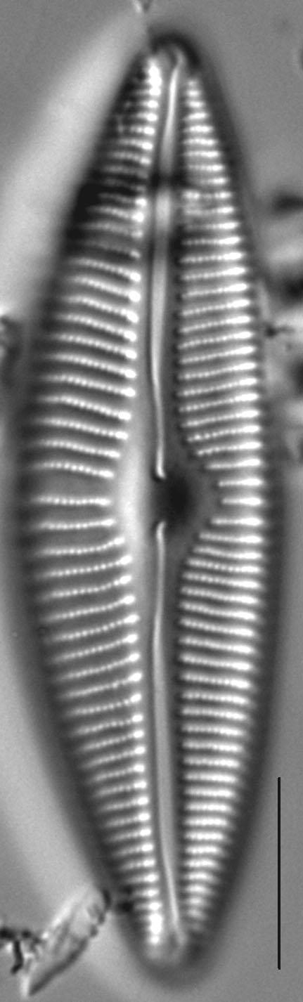 Cymbopleura rainierensis LM4