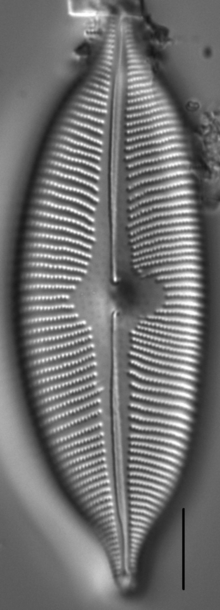 Cymboapiculata5