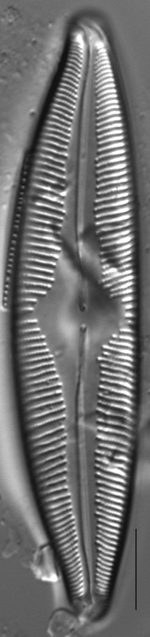 Cymbopleura edlundii LM3