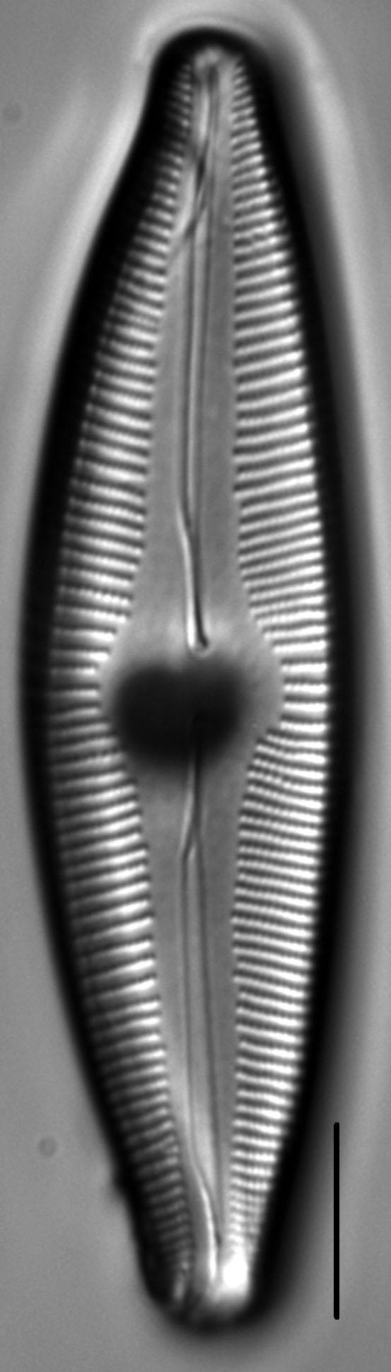 Cymbopleura edlundii LM4