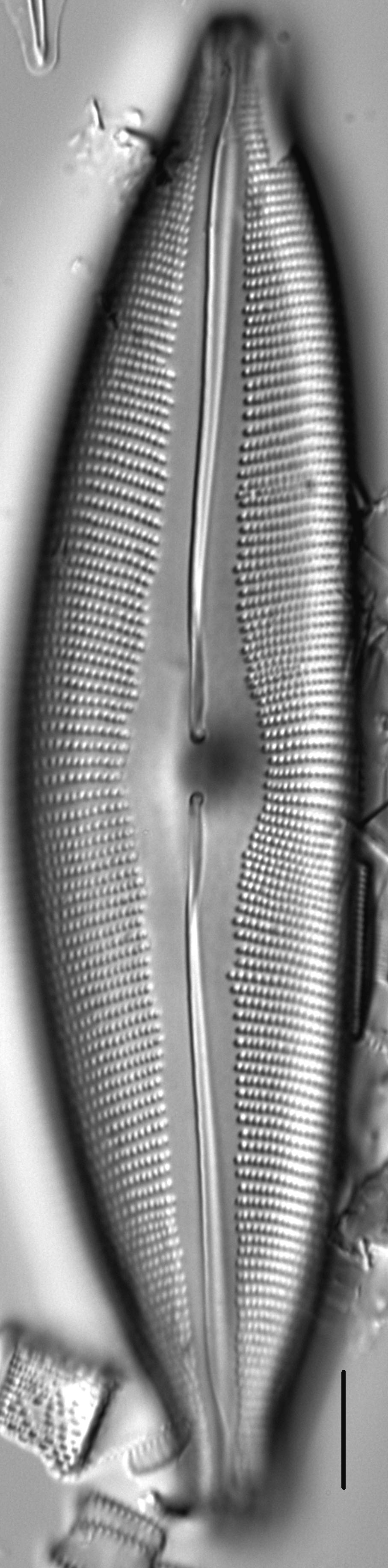 Cymbopleura heinii LM3