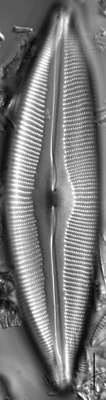 Cymbopleura heinii LM6