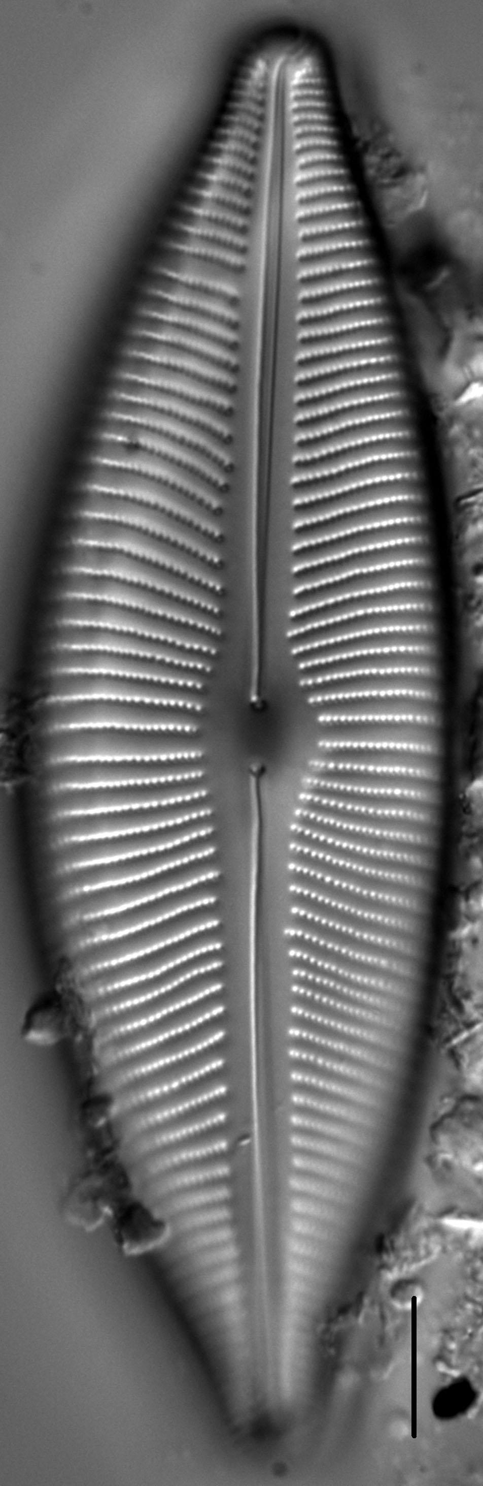 Cymboinaequalis2