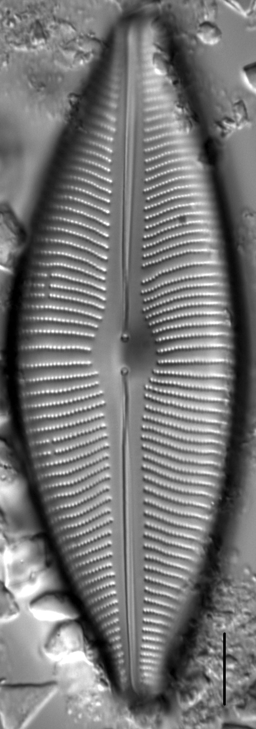 Cymboinaequalis4