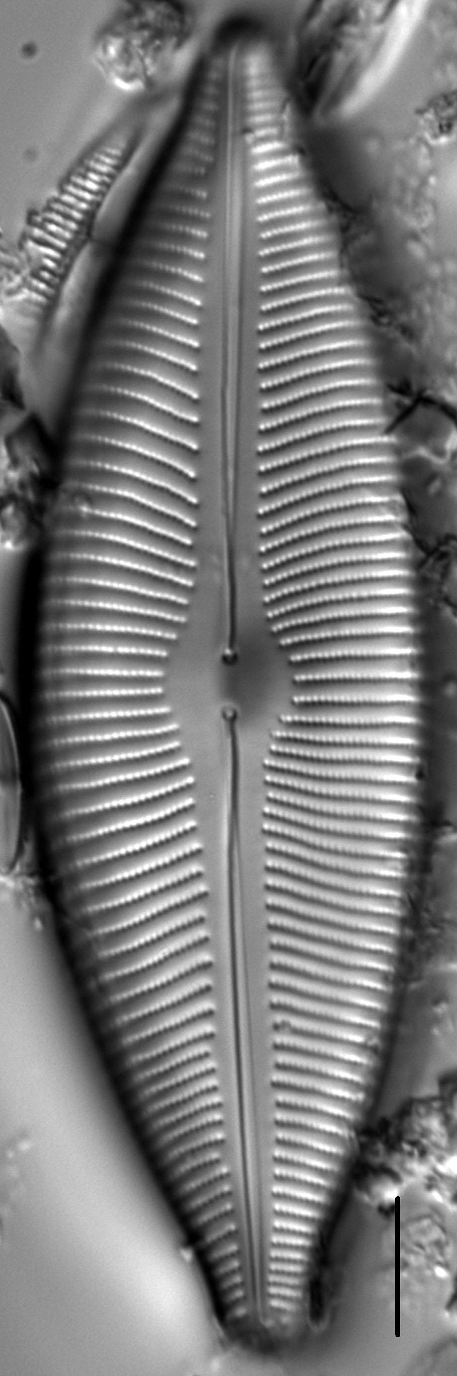 Cymboinaequalis5 1