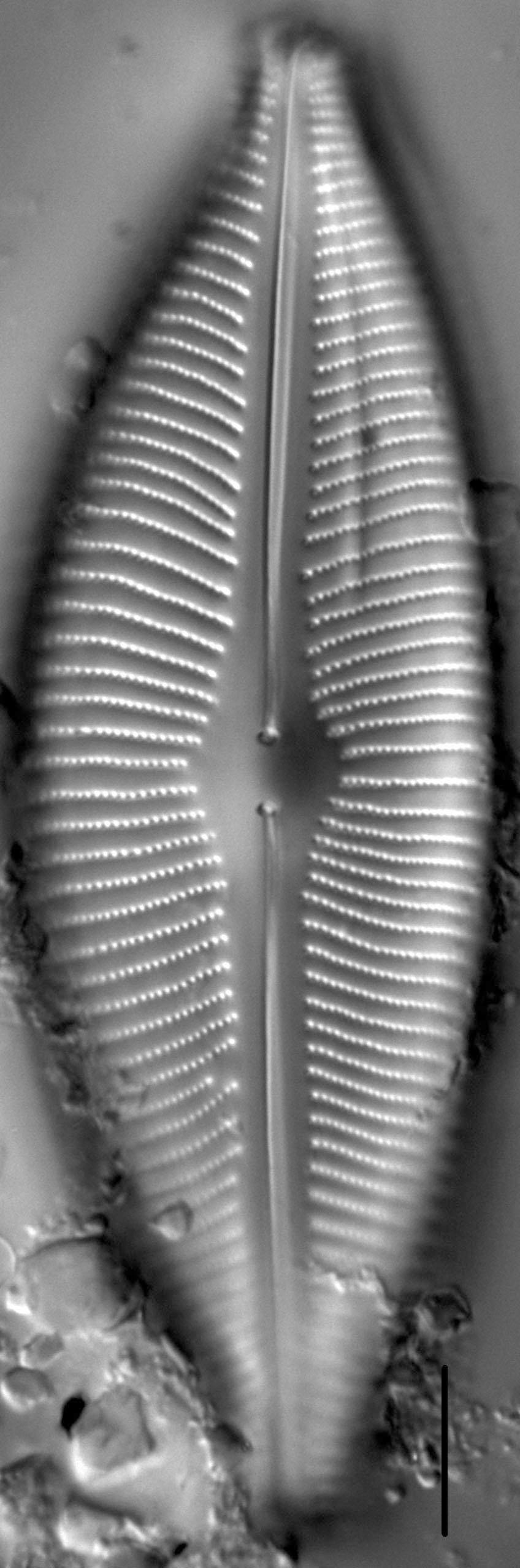 Cymboinaequalis6