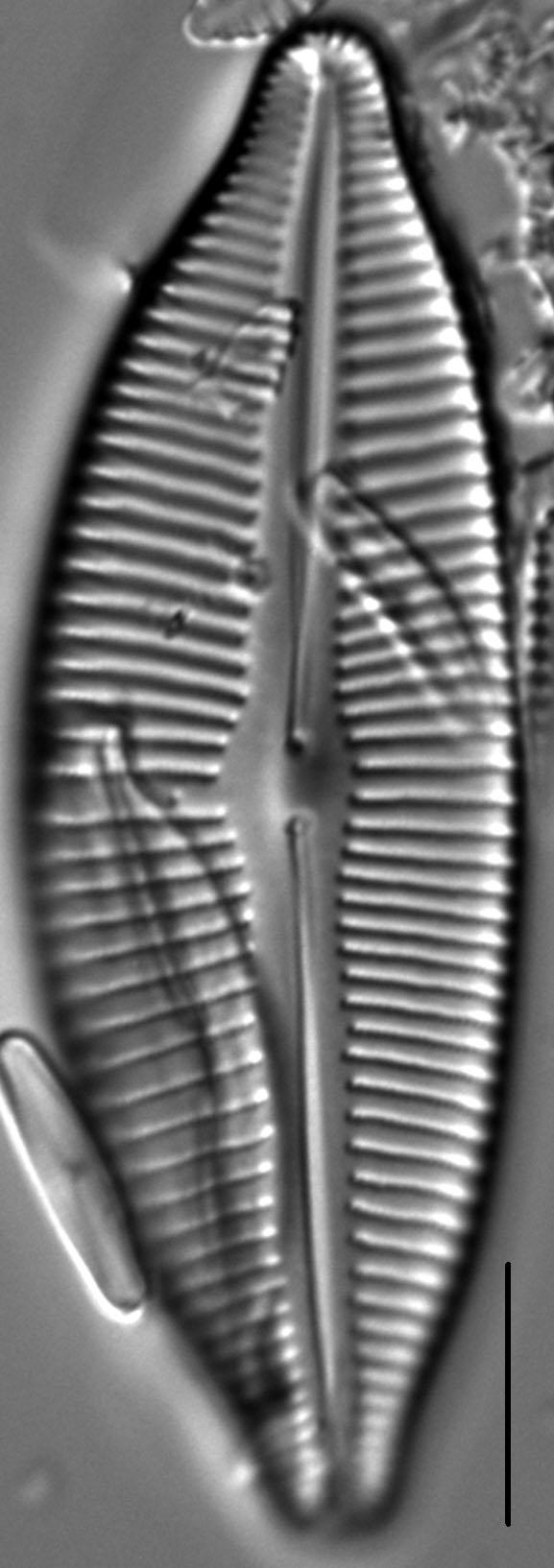Cymbopleura lata LM5