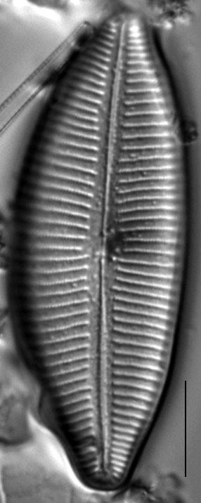 Cymbopleura lata LM6