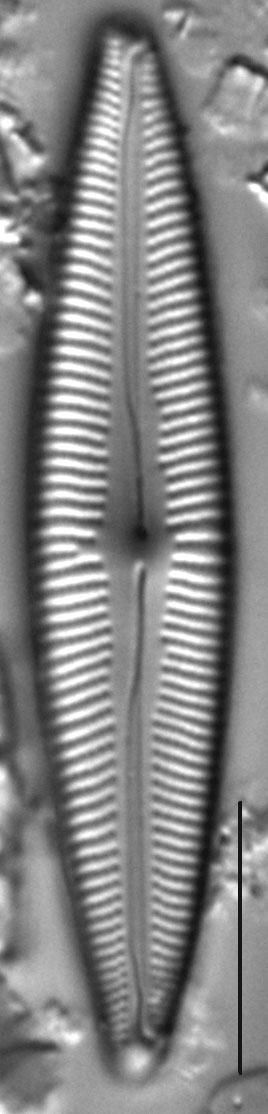 Cymbopleura metzeltinii LM2