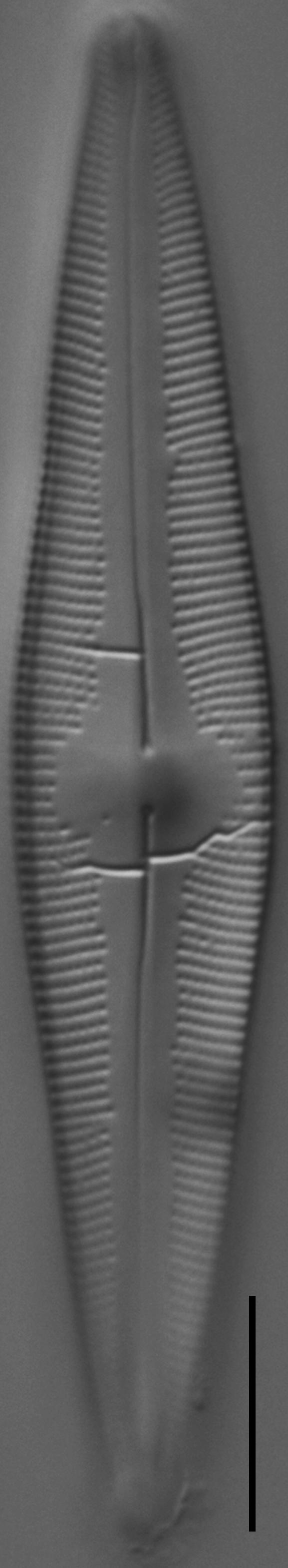 Cymbopleura stauroneiformis LM1