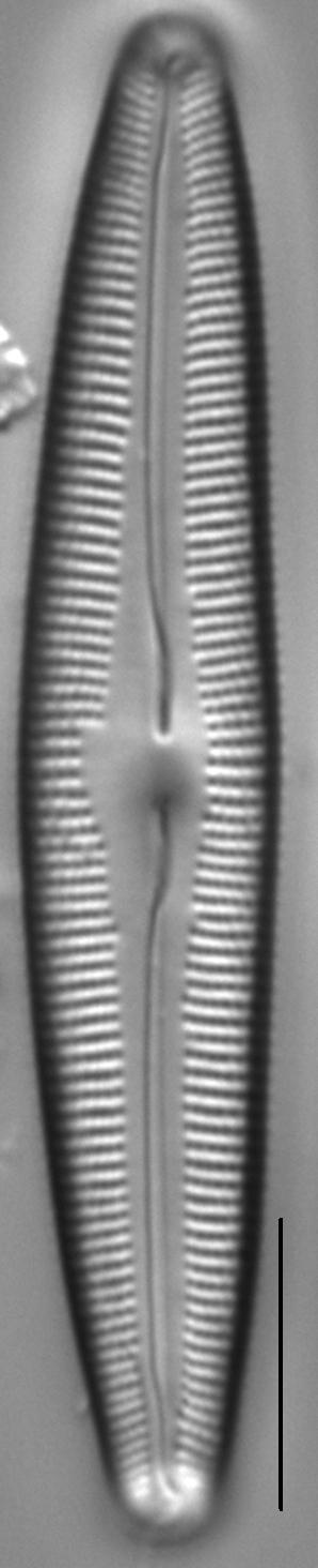 Cymbopleura florentina LM4