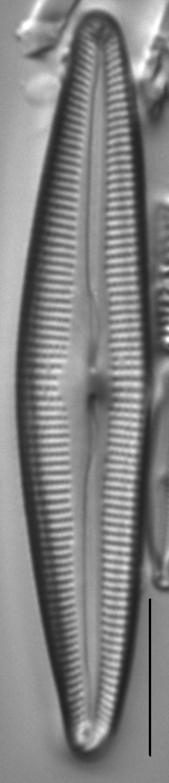 Cymbopleura florentina LM6