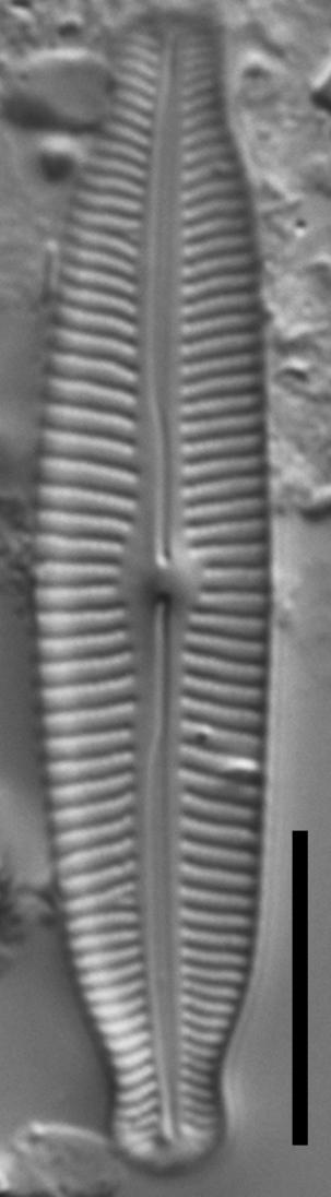 Cymbopleura Fluminea  Pf1  Gc8197C  Not Type
