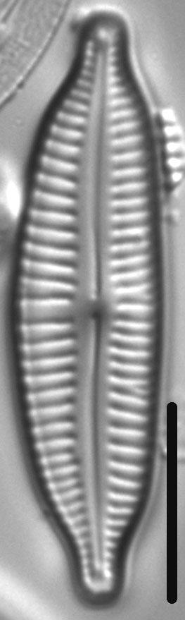 Cymbopleura frequens LM3