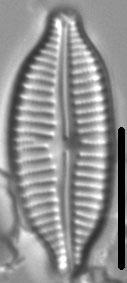 Cymbopleura frequens LM6