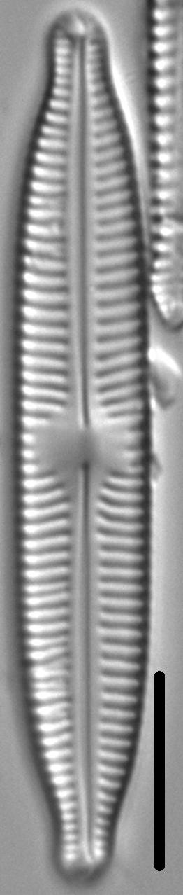 Cymbopleura hybrida LM2