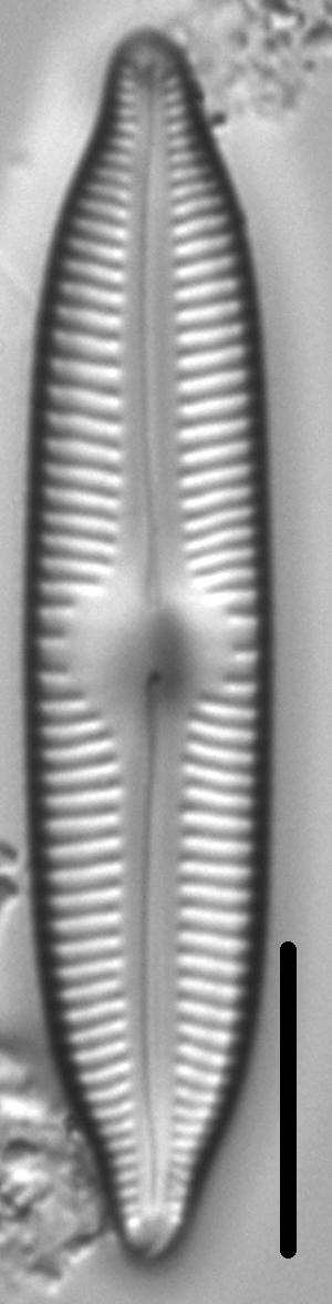 Cymbopleura hybrida LM3