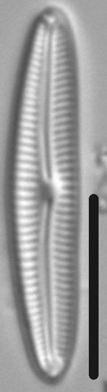 Cymbopleura Tundraphila LM4