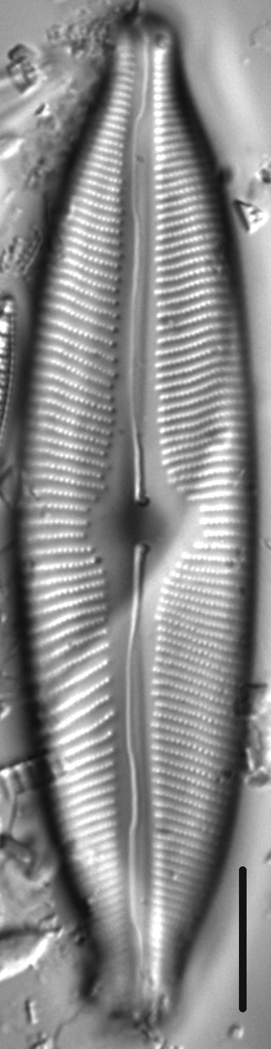 Cymbopleura tynnii LM1