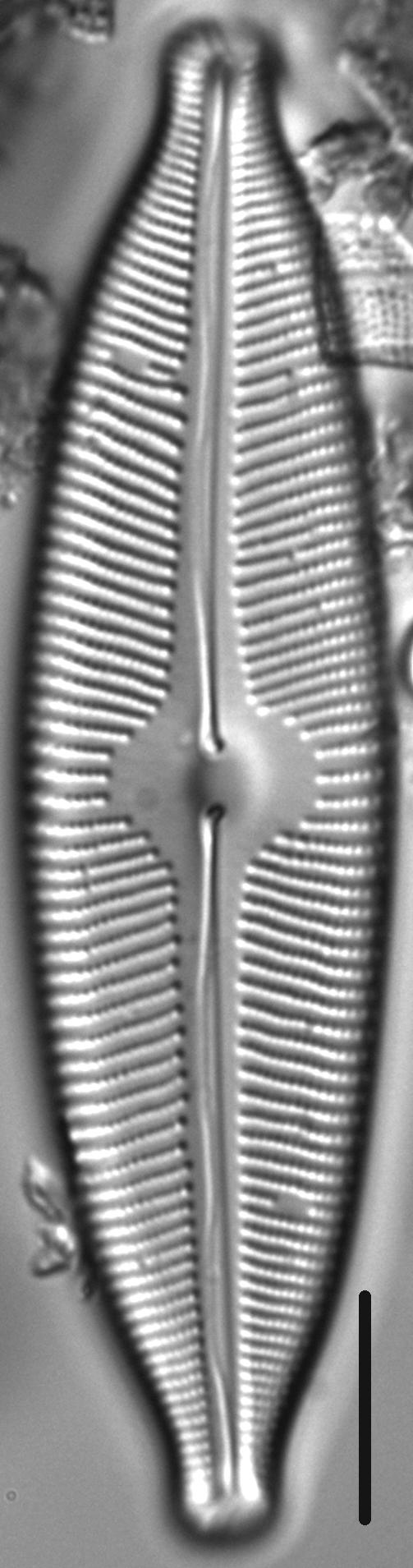 Cymbopleura tynnii LM2