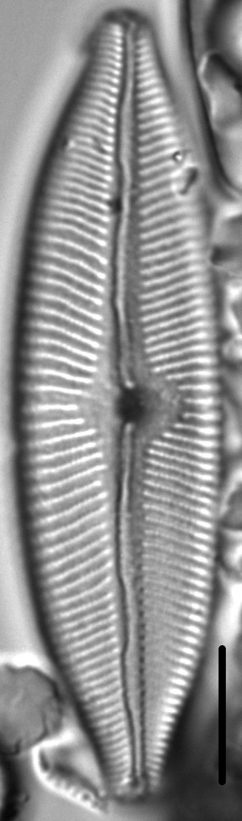 Cymbopleura tynnii LM5