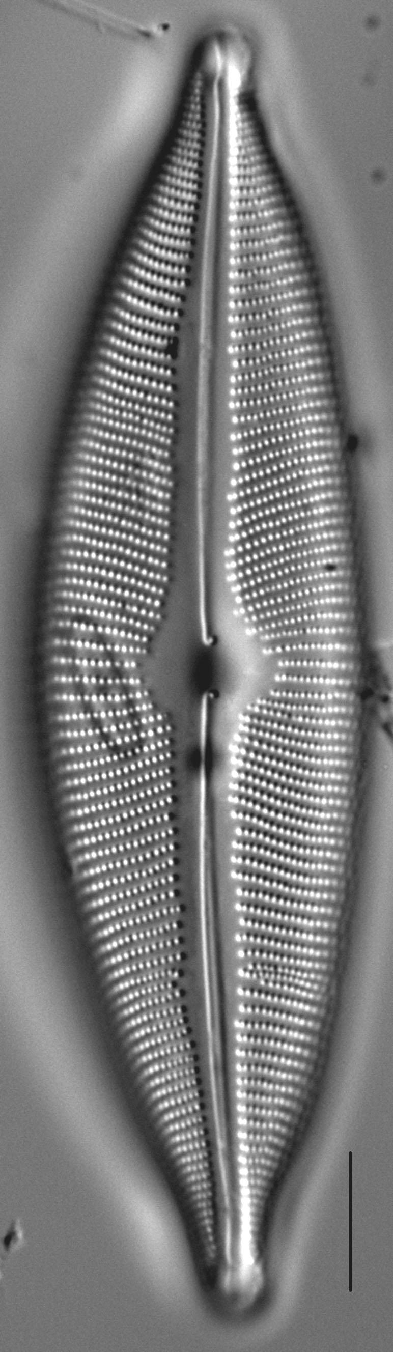 Cymbopleura subcuspidata LM2