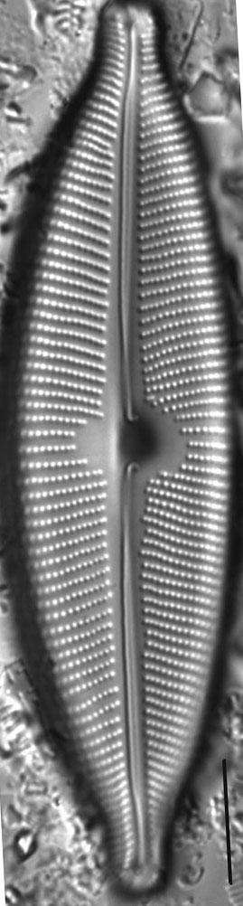 Cymbopleura subcuspidata LM5