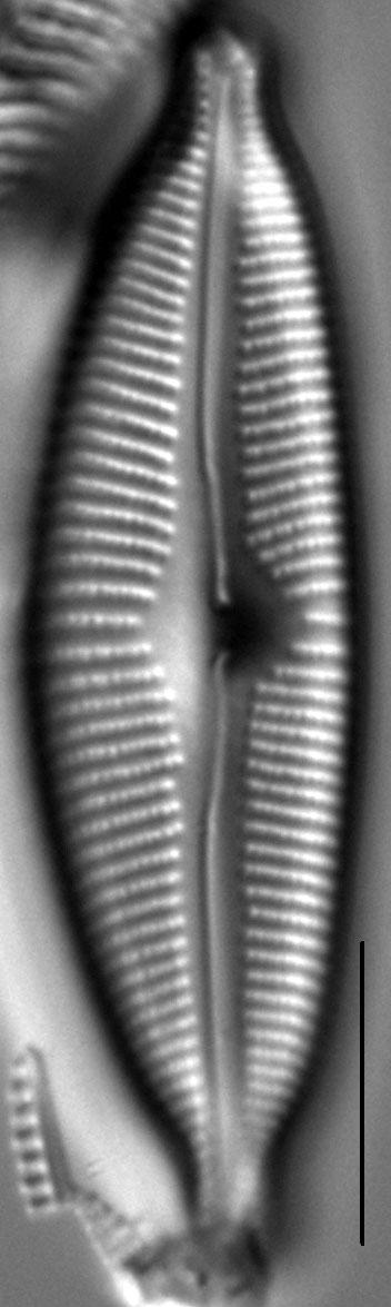 Cymbopleura sublanceolata LM2