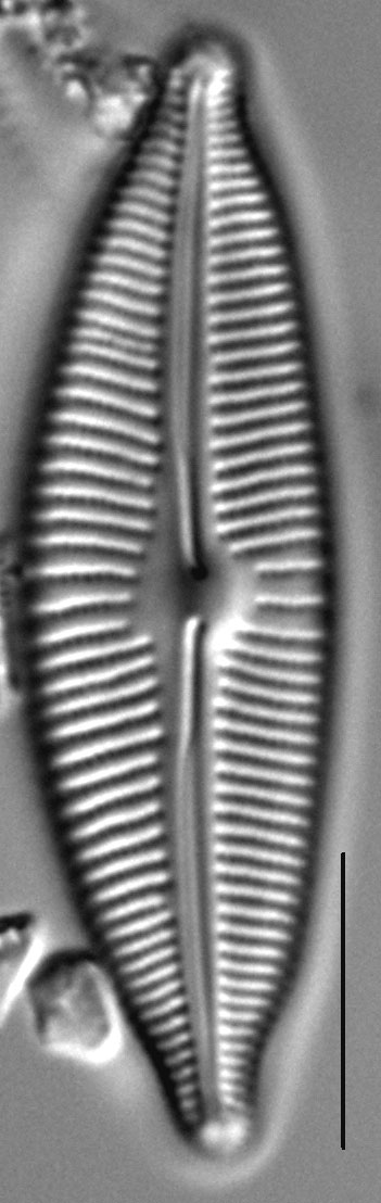 Cymbopleura sublanceolata LM4