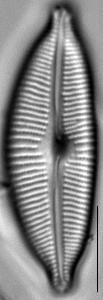 Cymbopleura sublanceolata LM5