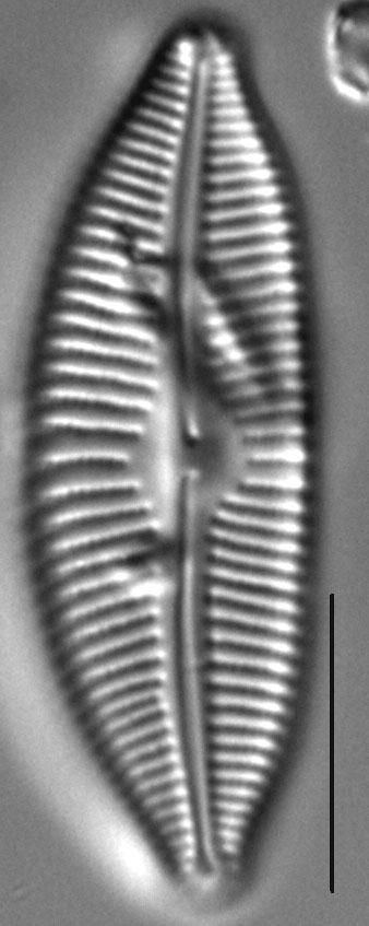 Cymbopleura sublanceolata LM7