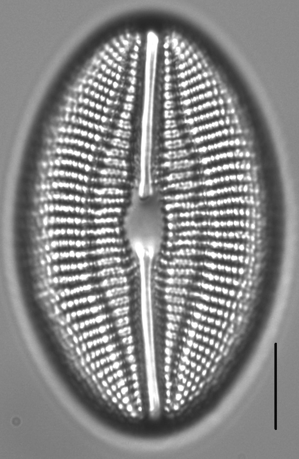 Diploneis finnica LM6