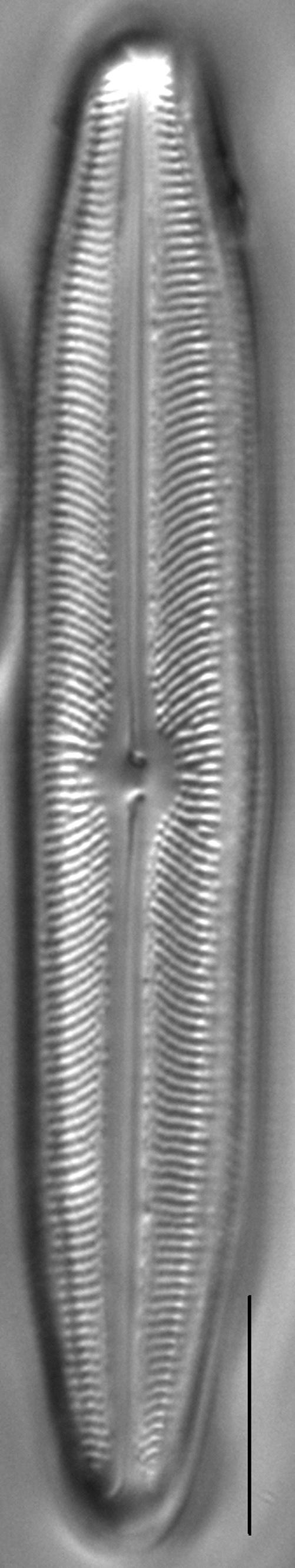 Neidiopsis weilandii LM3