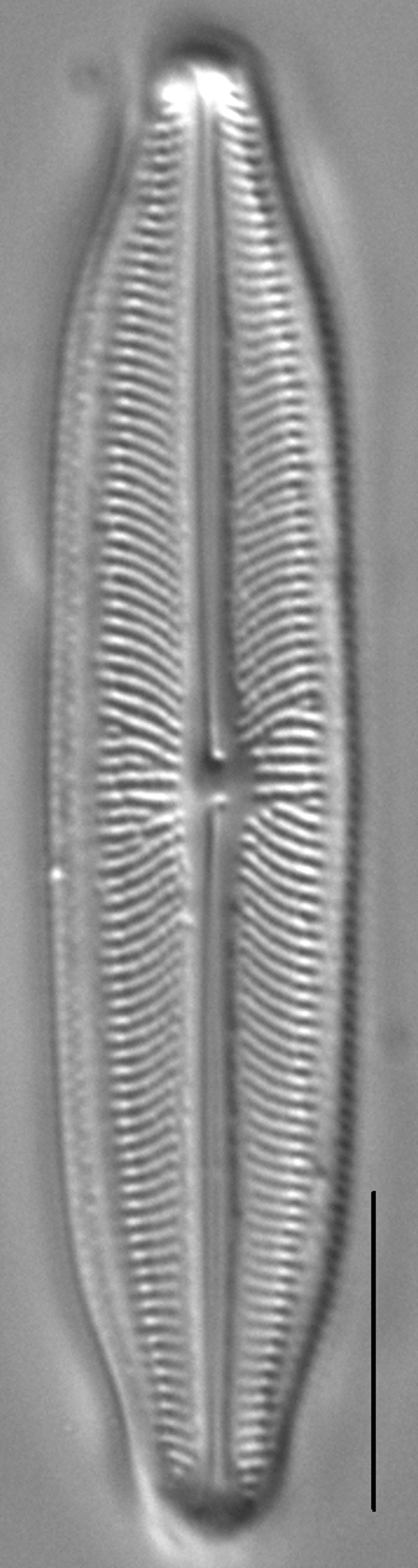 Neidiopsis weilandii LM6