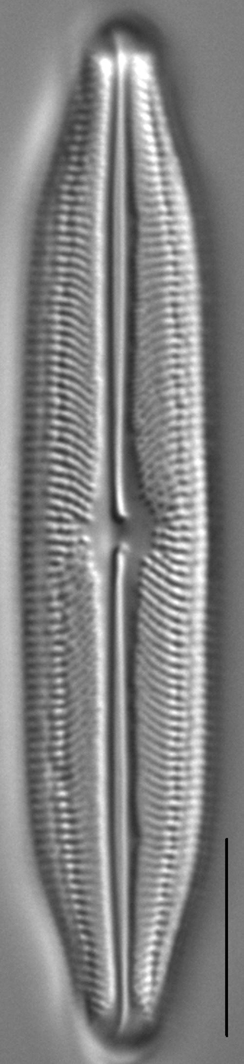 Neidiopsis weilandii LM5