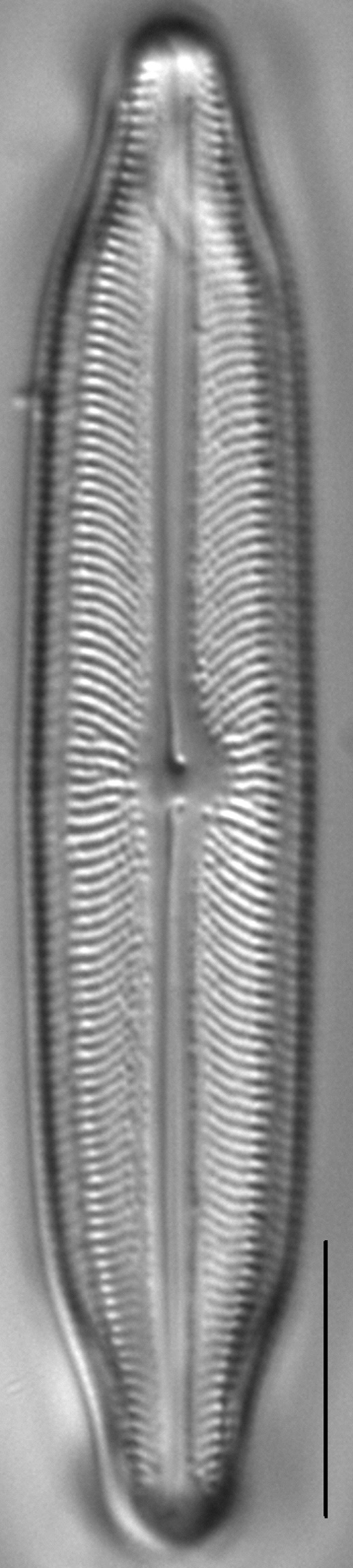 Neidiopsis weilandii LM2