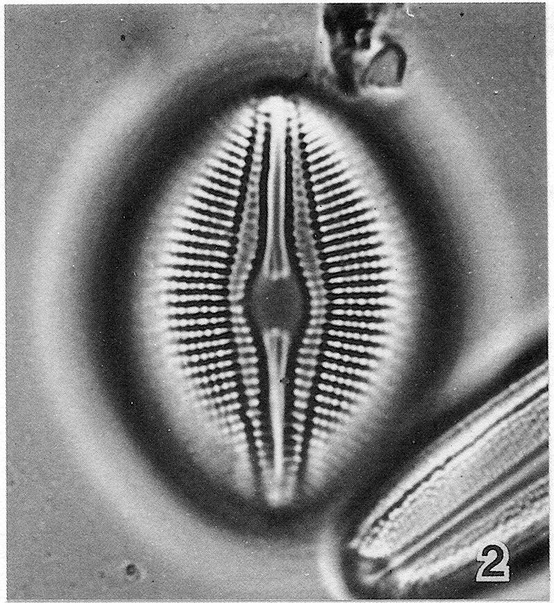 Diploneis Parma Lectotype2
